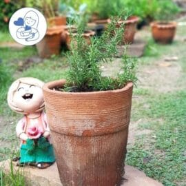 ต้นโรสแมรี่เลื้อยในกระถาง
