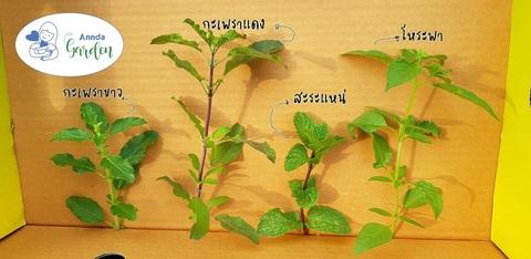 พืชตระกูลเบซิ้ว
